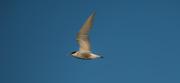 "3rd Feb 2019 - ""Whiskered Tern"" in flight"