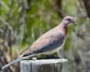 3rd Feb 2019 - Just A Dove _DSC5741