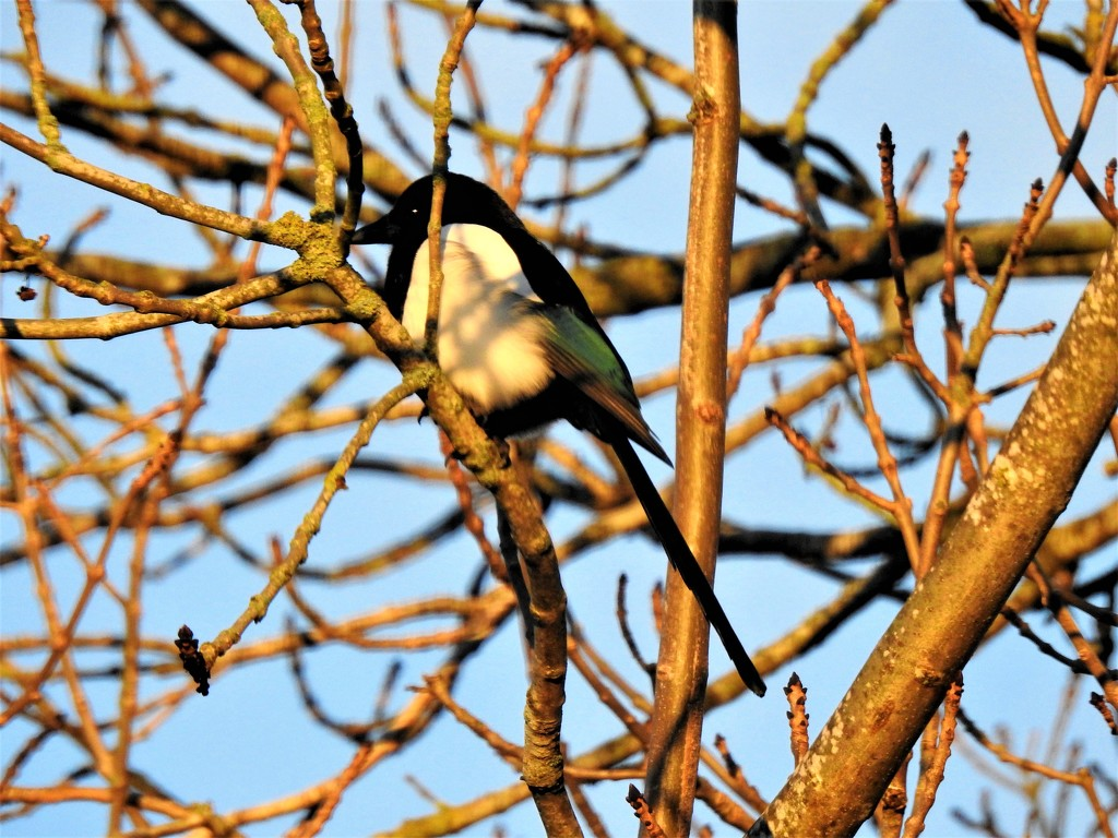 Magpie Catching the Sun by susiemc