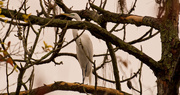 3rd Feb 2019 - Egret in the Blue Heron Tree!