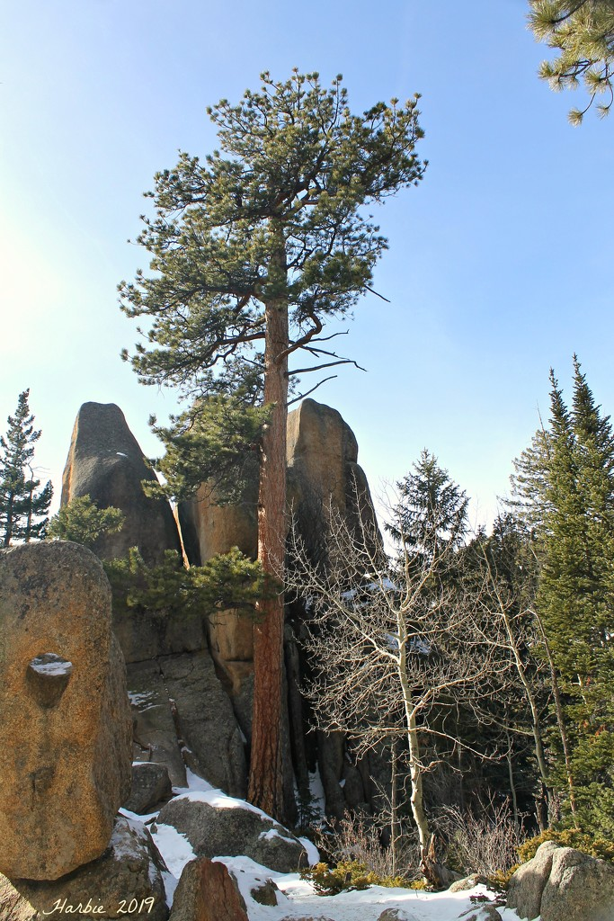 Pine Tree Above the Rocks by harbie