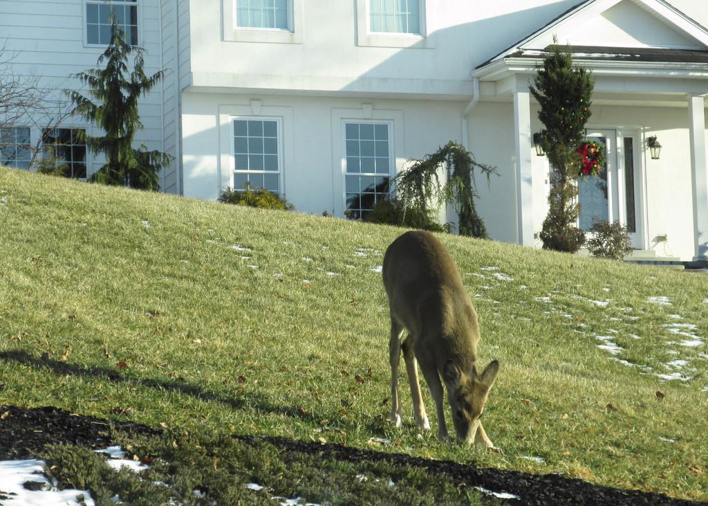 Deer in a yard by mittens