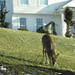 Deer in a yard