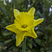 Daffodil by tonygig