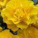 Roses by tonygig
