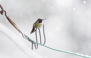 4th Feb 2019 - Hummingbird In Snow