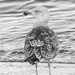 Young gull by inthecloud5