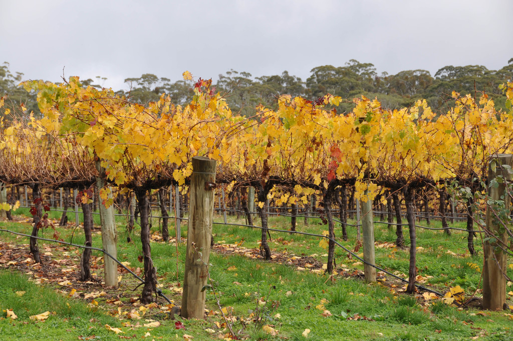 Autumn in the vineyard by hrs