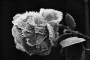 5th Feb 2019 - Frosted Rose
