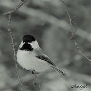 5th Feb 2019 - Chickadee
