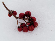 5th Feb 2019 - berries on ice