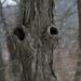 venus tree