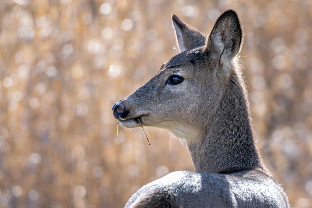 Mule Deer by stefneyhart