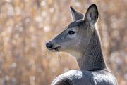 5th Feb 2019 - Mule Deer