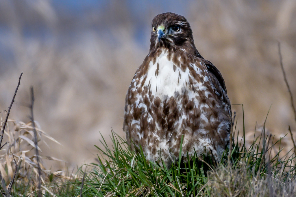Red-tailed Hawk - Warming its feet. by stefneyhart