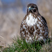Red-tailed Hawk - Warming its feet.