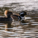 Hooded Mergansers Mating Displays