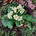 First Primrose of spring