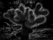 3rd Feb 2019 - Little Cactus at Joshua Tree