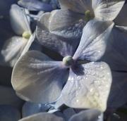 7th Feb 2019 - A single hydranga flower