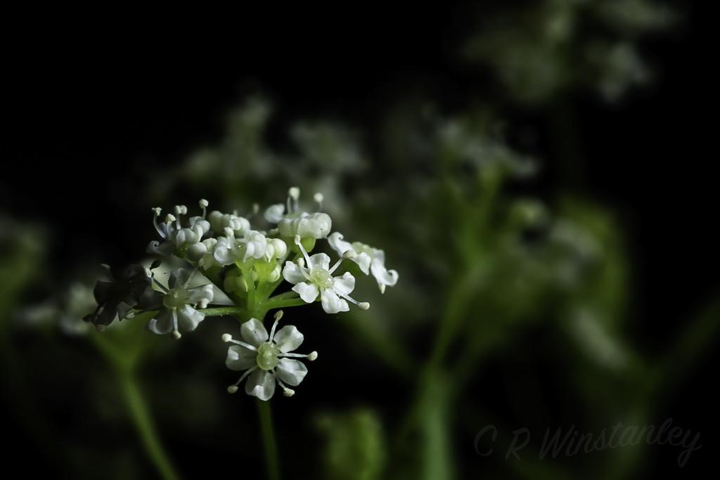 Parsley Flower by kipper1951