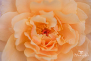 7th Feb 2019 - apricot rose