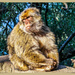 Barbary Macaque In Pensive Mood by carolmw