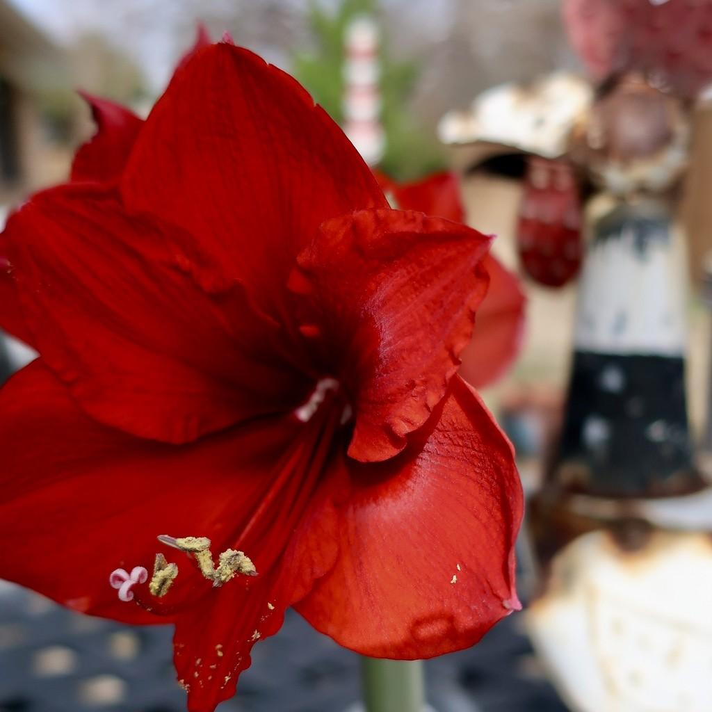 The Amaryllis and the rooster by louannwarren