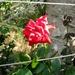 Ruža u ringu