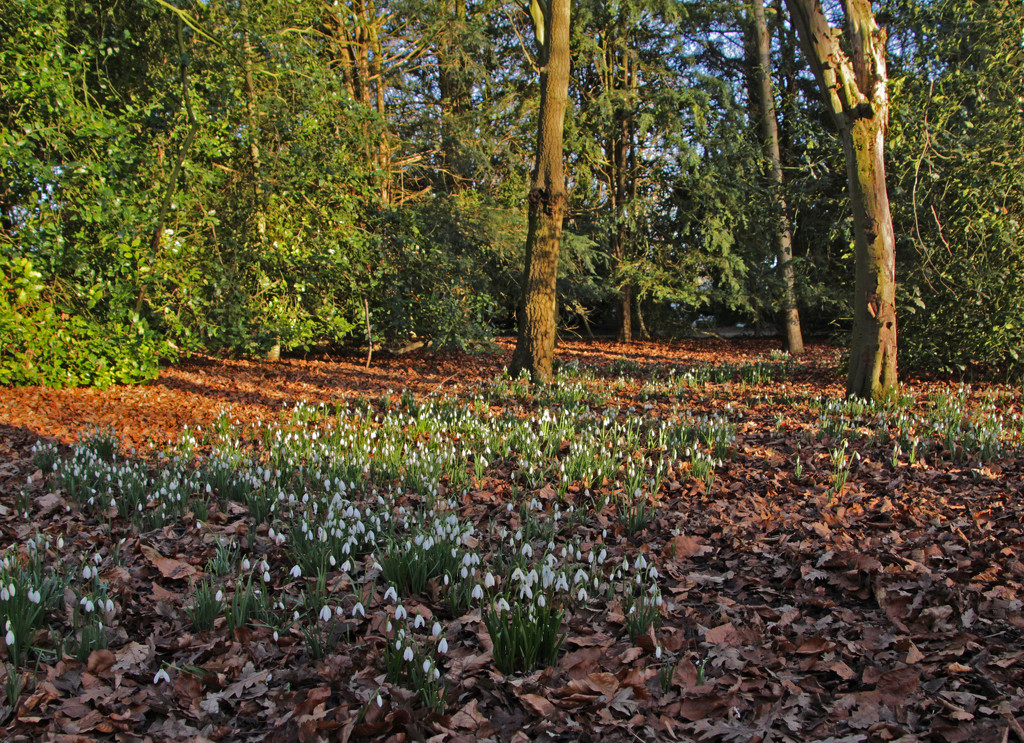 Carpet of snowdrops by busylady