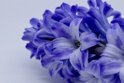 6th Feb 2019 - Close up Hyacinth