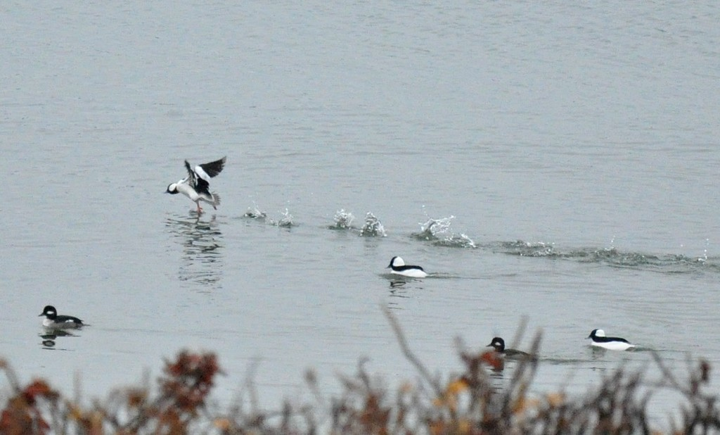 Buffleheads are getting frisky by sailingmusic