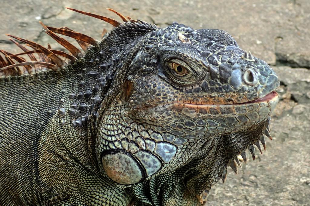 Roatan Iguana by cm_saratoga