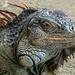 Roatan Iguana