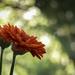 Barbeton Daisy 4