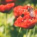 poppy buzzz