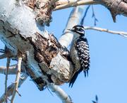 5th Feb 2019 - Nuttall's Woodpecker