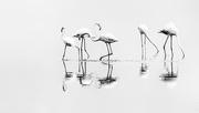8th Feb 2019 - Five Flamingo Friends