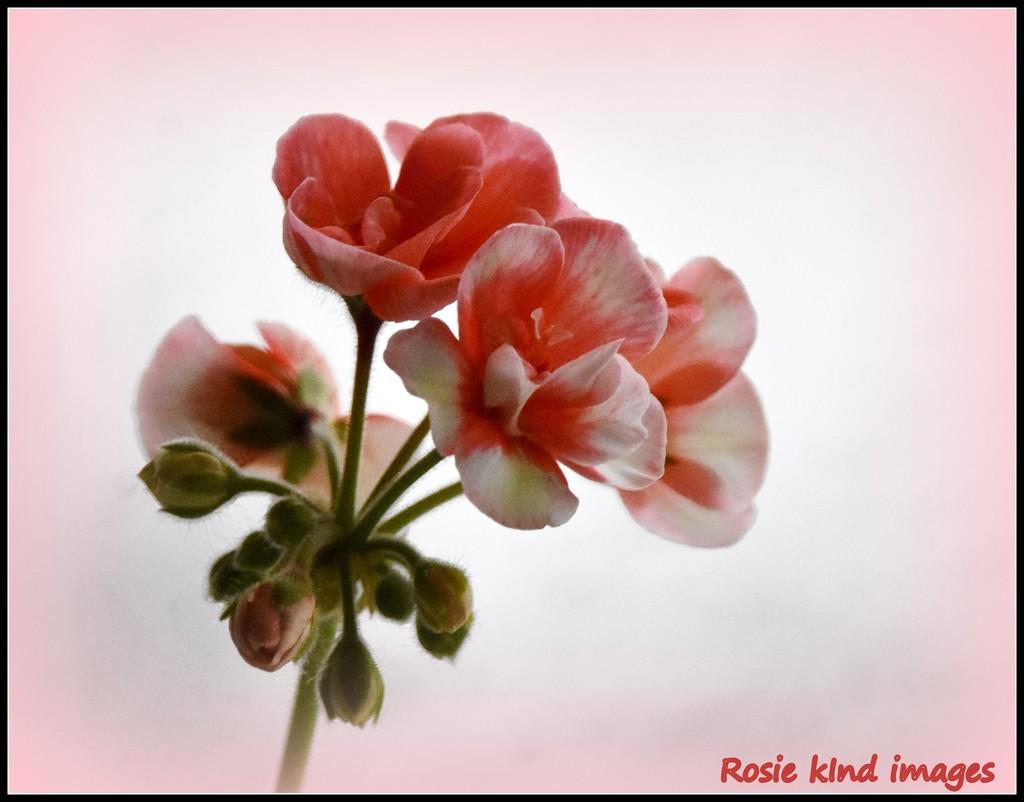 Now flowering by rosiekind