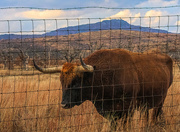 8th Feb 2019 - Long Horn Cattle