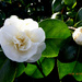 The first Camellia flowers to open in the garden by snowy