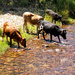Even the Nguni cattle need to cool down