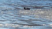 9th Feb 2019 - male mallard in icy waters