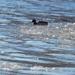 male mallard in icy waters