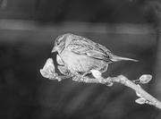 9th Feb 2019 - Spotlight Sparrow