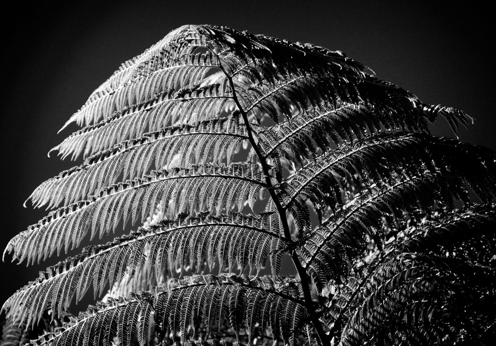 Tree fern by kiwinanna
