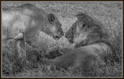 9th Feb 2019 - Lions Nuzzling