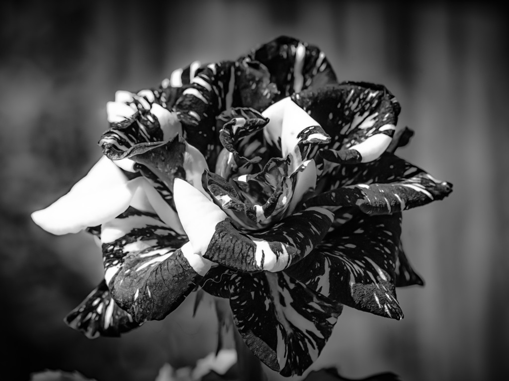 B&W Challenge #38 - The Love of my Life by gigiflower