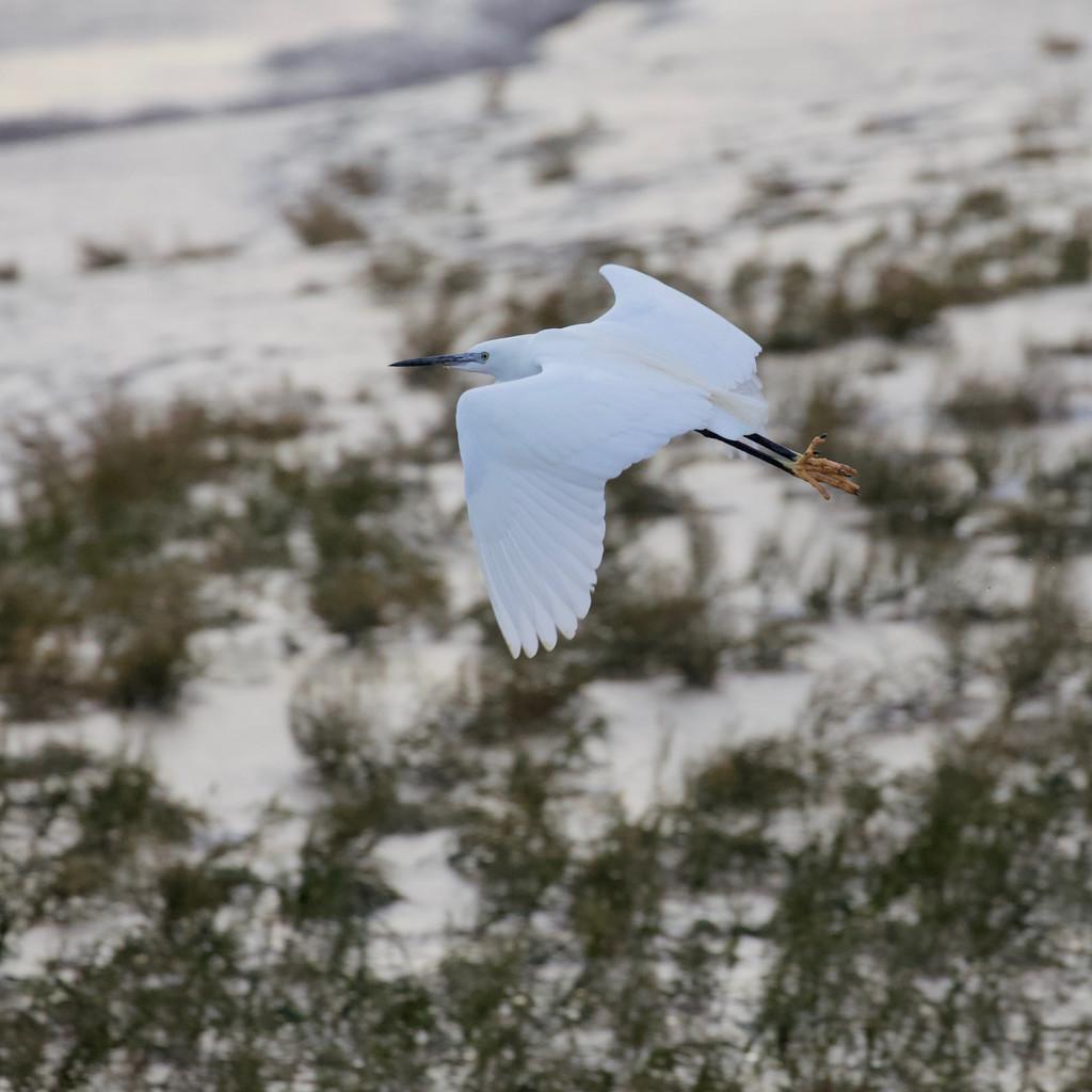 Little Egret taking off by dailydelight