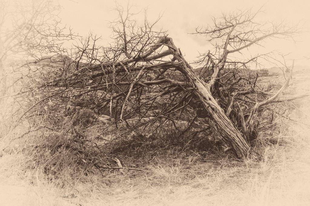 dead wood by samae